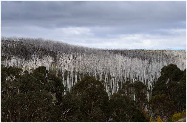 Dead gum trees everywhere...